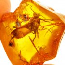 Large wasp fossil insect inclusion in Baltic amber