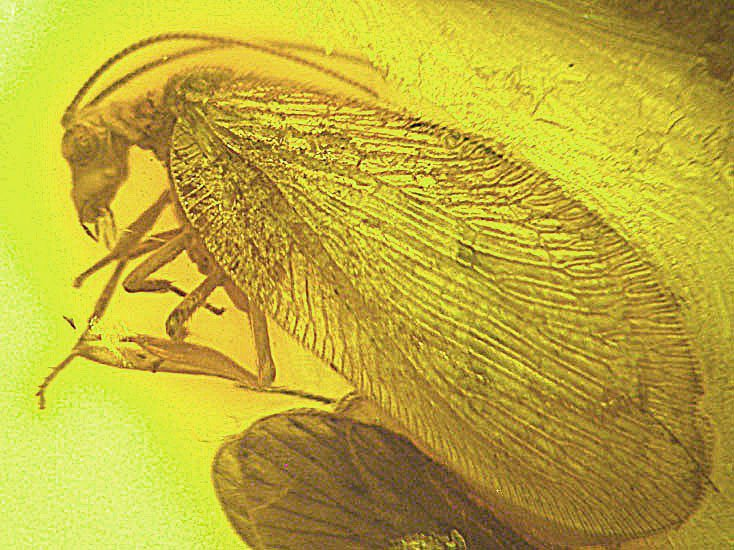 Rare lacewing fossil insect  inclusion in Baltic amber