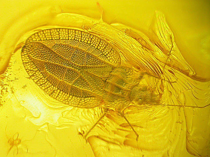 Lace bug fossil insect inclusion in Baltic amber