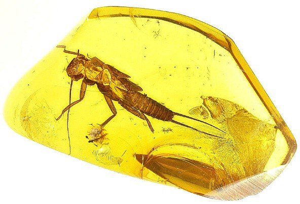 Stonefly fossil insect  inclusion in Baltic amber