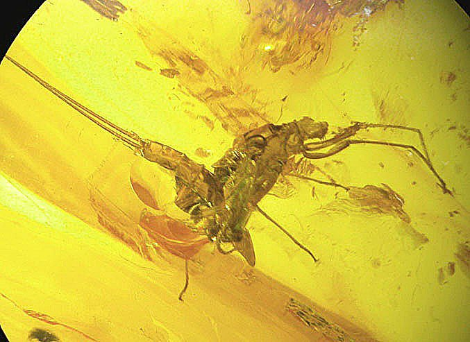 Mayfly  exuvio fossil insect  inclusion in Baltic amber