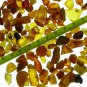 Unsearched rough Baltic fossil amber 10 - 20mm 100 gr.)