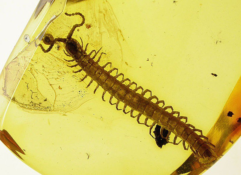 Myriapod Geophilidae fossil inclusion in Baltic amber