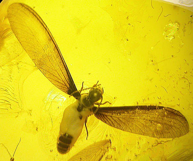 Great termite insect inclusion in Baltic fossil amber