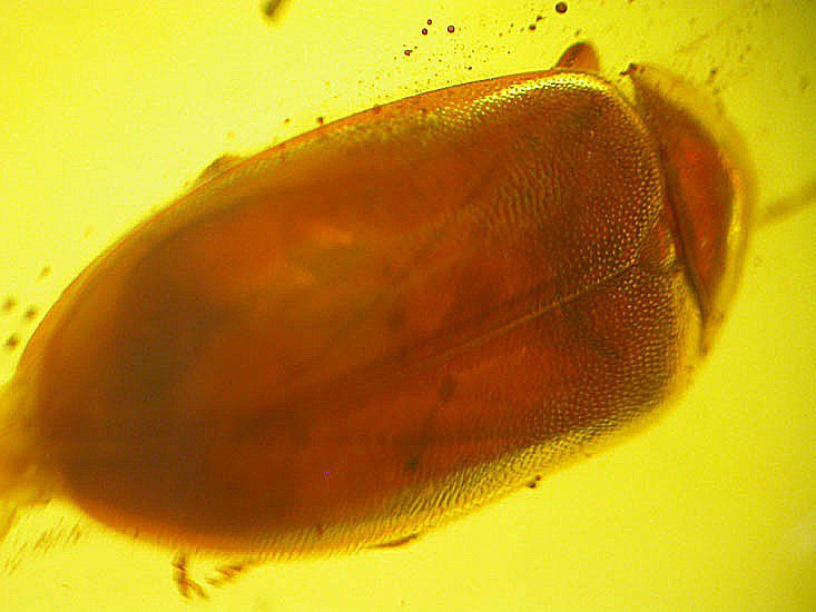 Superb beetle fossil insect inclusion in Baltic amber