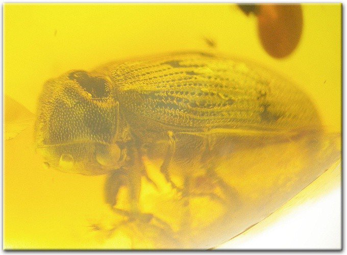 Fantastic large beetle fossil inclusion in Baltic amber
