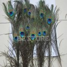 15 x 30cm Natural Peacock Feather House Decoration