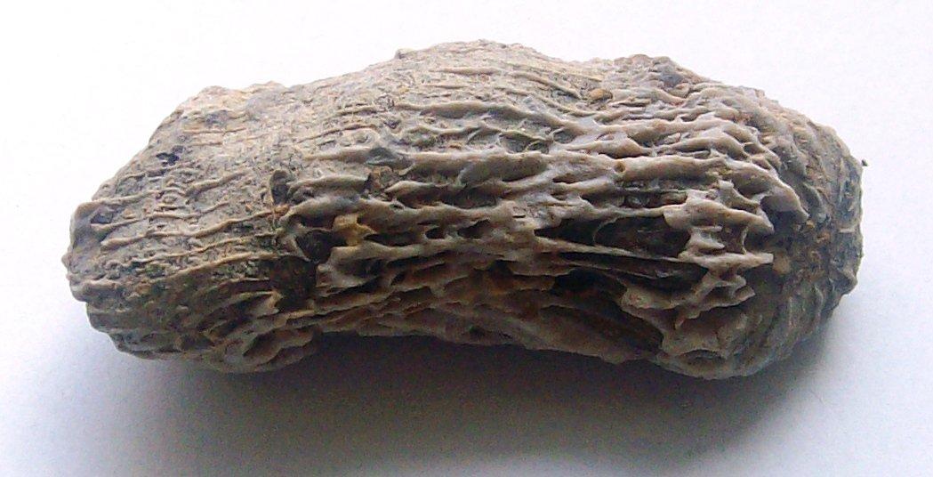 horn coral lower cretaceous