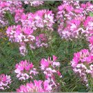 100 Cleome Spider Flower Seeds