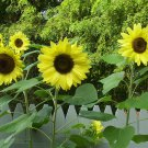 50 Heirloom Sunflower Lemon Queen Seeds