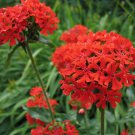 200 Maltese Cross Flower Seeds