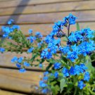 50 Chinese Forget Me Not Seeds