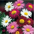 50 Robinson Giant Mix Painted Daisy Pyrethrum Seeds
