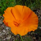1000 California poppy Eschscholzia Seeds