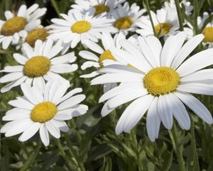 100 Large White Marguerite Chrysanthemum maximum Seeds