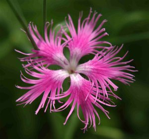 150 Fringed Pink Carnation Dianthus Seeds