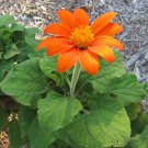 50 Mexican Sunflower Tithonia Seeds