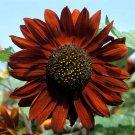 50 Heirloom Sunflower Velvet Queen Seeds