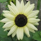 30 Heirloom Sunflower Italian White Seeds