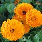 50 Calendula Balls Improved Orange Heirloom Seeds