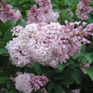 15 Late Lilac Syringa villosa Seeds