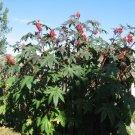 6 Castor Bean Seeds Ricinus