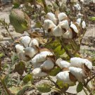 15 Organic White Cotton Seeds