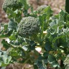 150 Organic Sprouting Broccoli Seeds