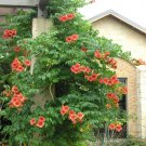 50 Red Hummingbird Trumpet Creeper Seeds