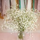 100 Baby's Breath Flower Seeds