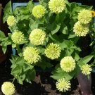 30 &#39;Envy&#39; Green Zinnia Flower Seeds