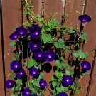 10 'Black Knolian' Morning Glory Vine Seeds