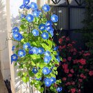 10 Heavenly Blue Morning Glory Vine Seeds