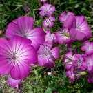 30 Pink Purple Corncockle Agrostemma Seeds