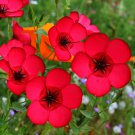150 Red Flowering Flax Seeds