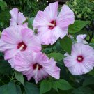 20 Hardy Hibiscus Rose Mallow Seeds