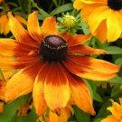50 Seeds Rudbeckia hirta Gloriosa Daisy Seeds