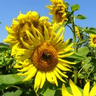 1000 Seeds Bulk Black Oil Peredovik Sunflower Seeds