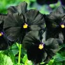 Black Pansy seeds - pkg of 4 seeds