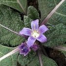 Black Mandrake seeds - pkg of 1 seed