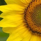 Sunflower seeds - pkg of 40 seeds