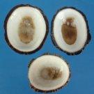 B605 Craft shells - Patelloida striata shells, 1 oz