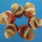 B519 Craft shells - Vittina waigensis, 1 oz,