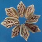 B594 Craft shells - Pyrene epamella, 1 oz