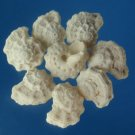 B508 Craftshells - Liotina depressa shells 1 lot = 1 oz