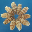 B524 Sailors Valentine Craft shells - Vexillum exasperatum, 1 oz,