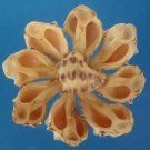 Cut shells- Thais alouina, 12 pcs # 01-020607
