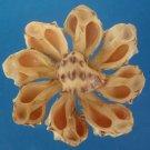 B562 Cut shells- Thais alouina-01, 12 pcs