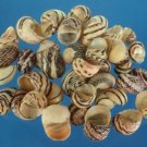 B519-44396 Craft shells - Neritodryas dubia, 2 oz.,