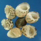 B538 Sailor's Valentine Craft shells - Nerita histrio,  1 oz.